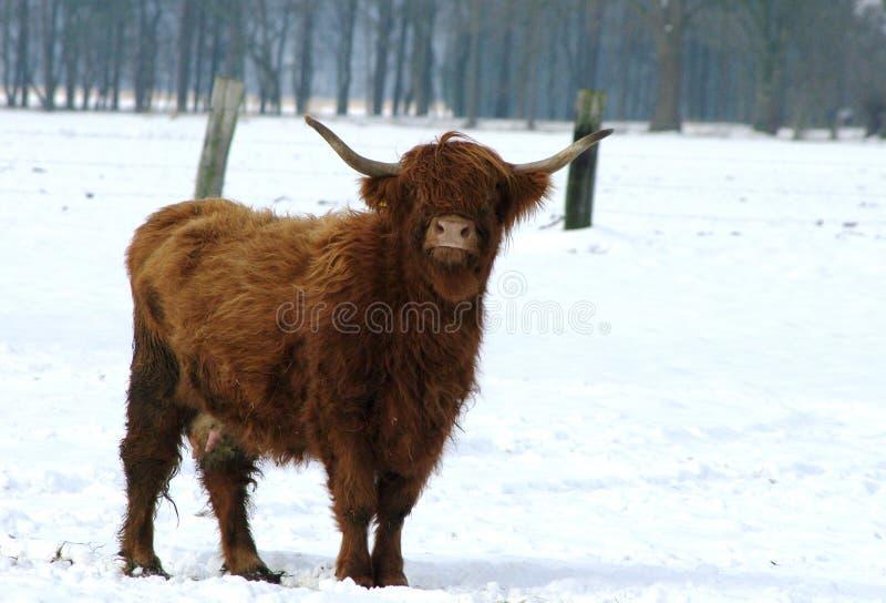 A vaca de Brown está no prado na neve fotos de stock