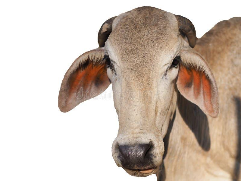 Vaca de Brown isolada fotos de stock royalty free