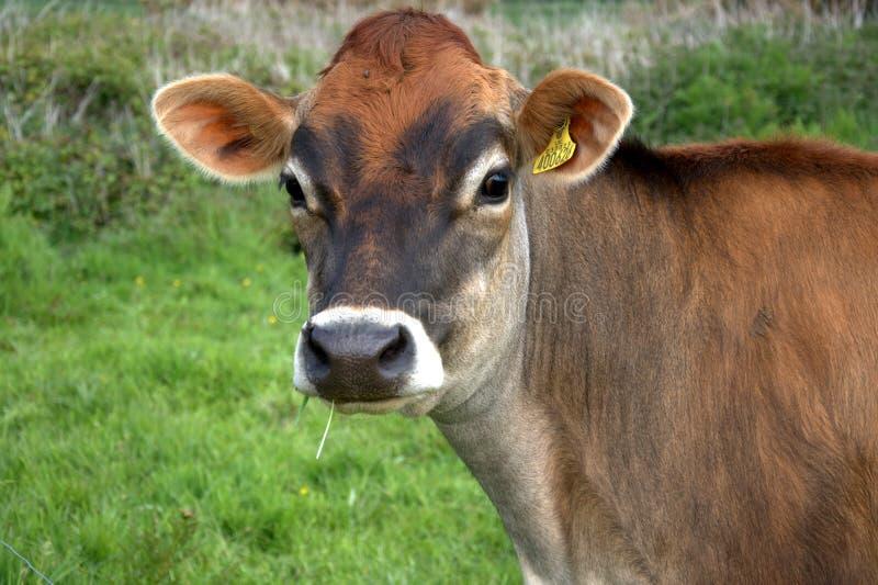 Vaca de Brown Jersey foto de stock royalty free