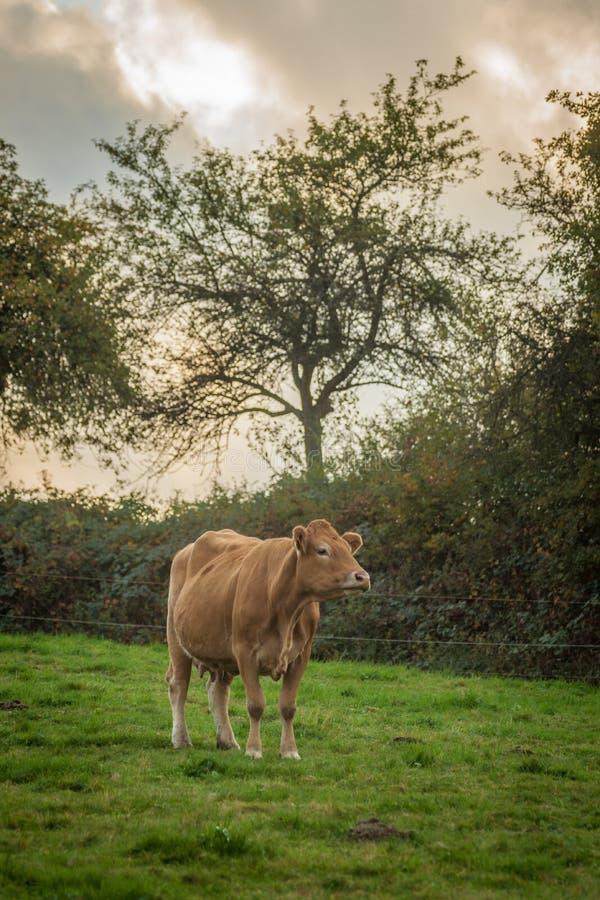 Vaca de Brown no pasto fotografia de stock royalty free