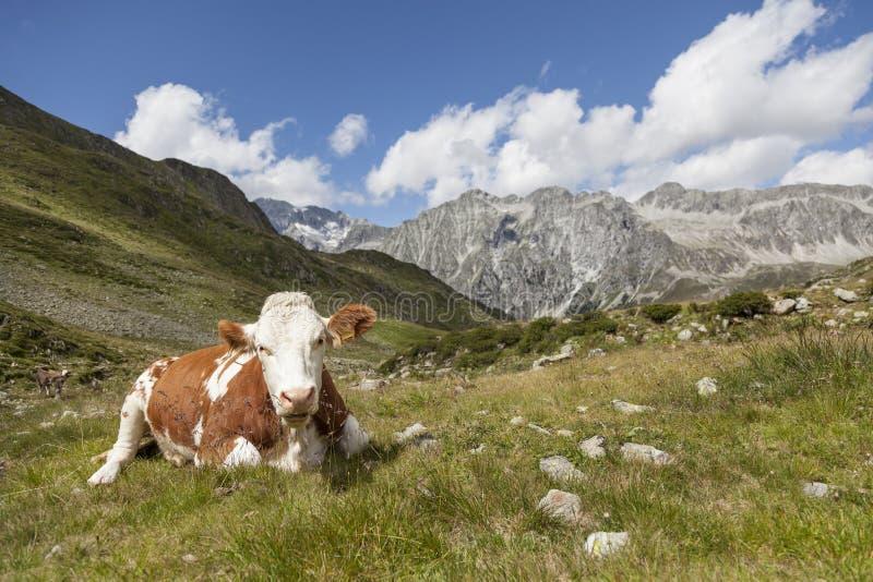 Vaca de Brown que descansa no pasto da montanha. imagem de stock royalty free