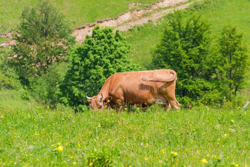 Vaca de Brown que pasta em um pasto da montanha das montanhas imagem de stock