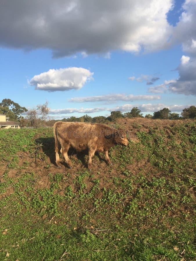 Vaca de Brown que pasta en una colina verde en el valle del cisne fotografía de archivo