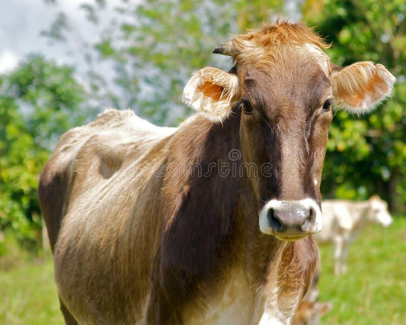 Vaca de Brown que se coloca en un campo imagenes de archivo