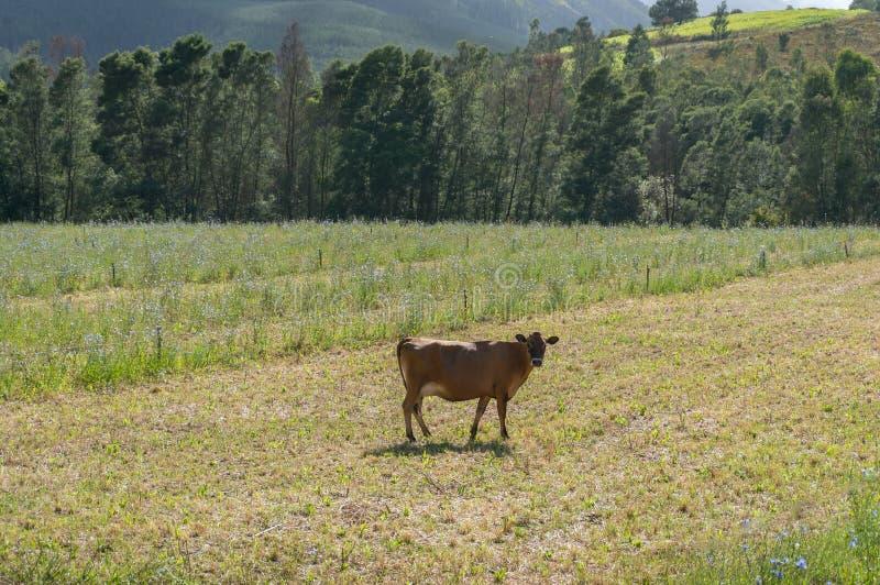 Vaca de camisola marrom parada no cercado e olhando para a câmera fotografia de stock royalty free