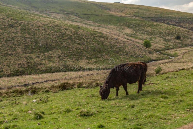 Vaca de Dartmoor foto de archivo libre de regalías