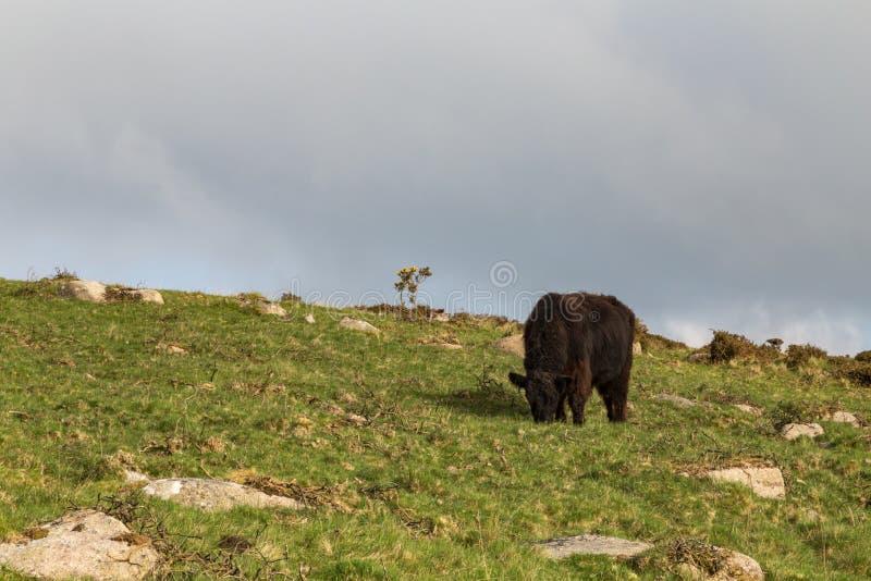 Vaca de Dartmoor fotos de archivo