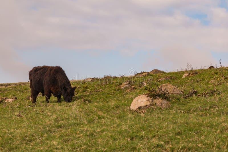 Vaca de Dartmoor fotos de archivo libres de regalías