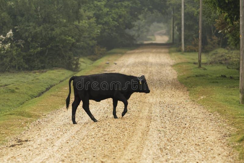 Vaca de Dartmoor fotografía de archivo libre de regalías