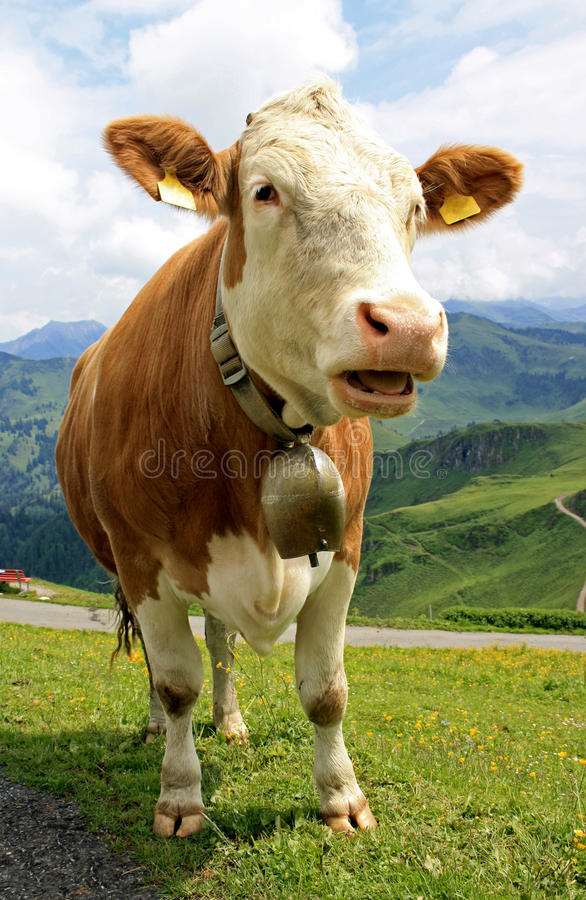 Vaca de discurso foto de archivo