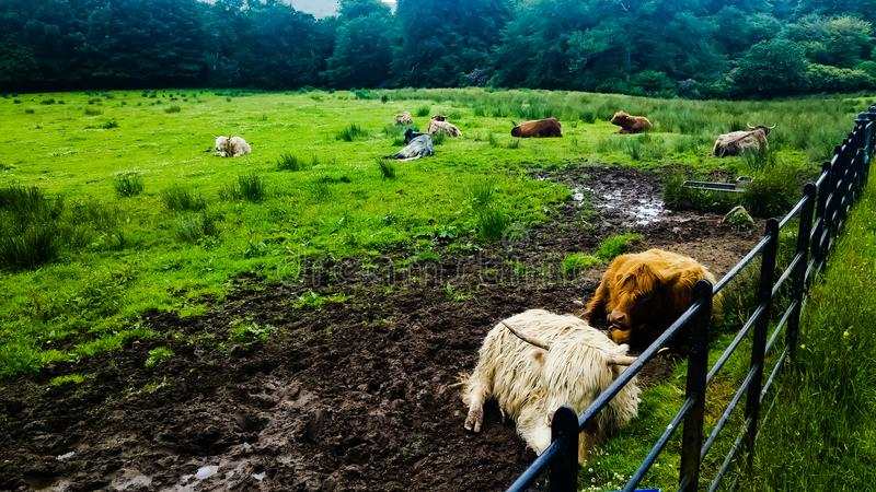 Vaca de Escocia fotos de archivo