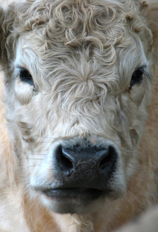 Vaca de Galloway imagem de stock royalty free