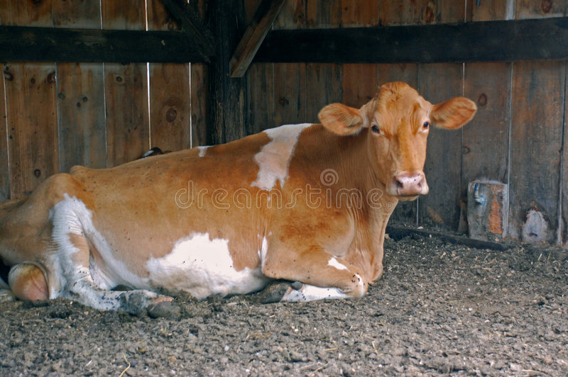 Vaca de Guernsey imagem de stock royalty free