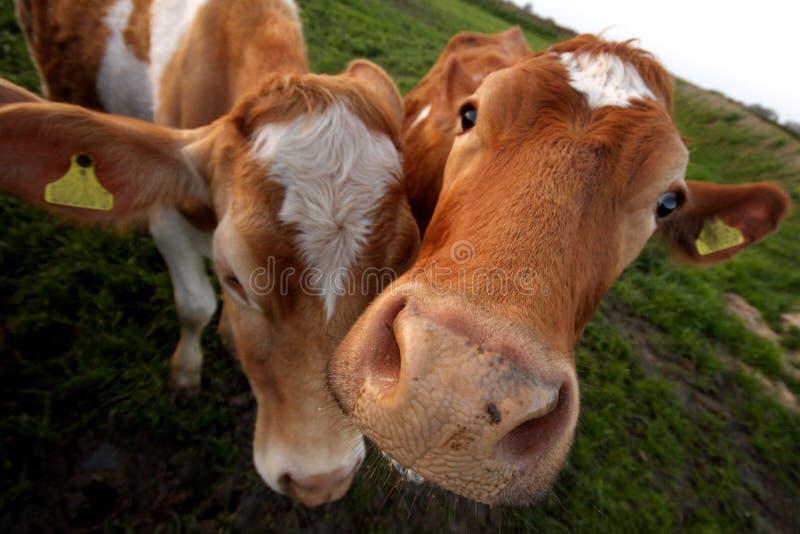 A vaca de Guernsey foto de stock royalty free