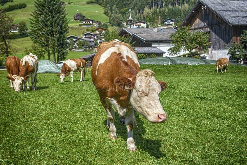 Vaca de HDR na terra fotografia de stock royalty free