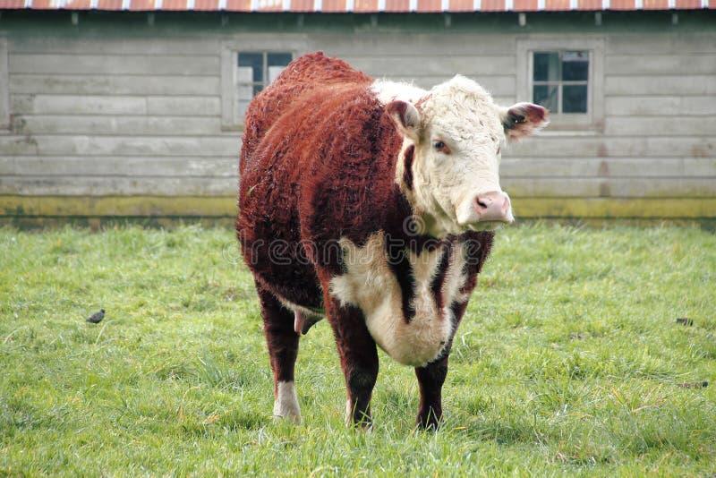 Vaca de Hereford fotografía de archivo