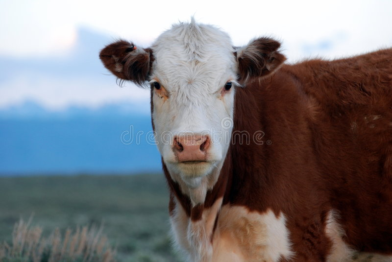 Vaca de Hereford foto de stock
