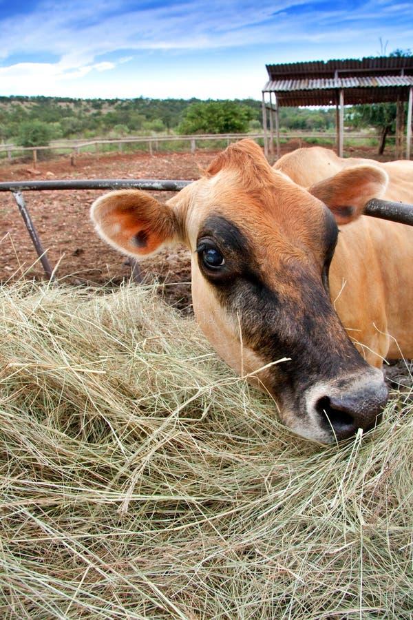 Vaca de Jersey fotos de stock royalty free