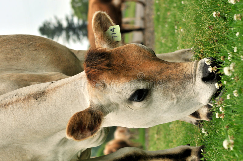 Vaca de Jersey imagem de stock