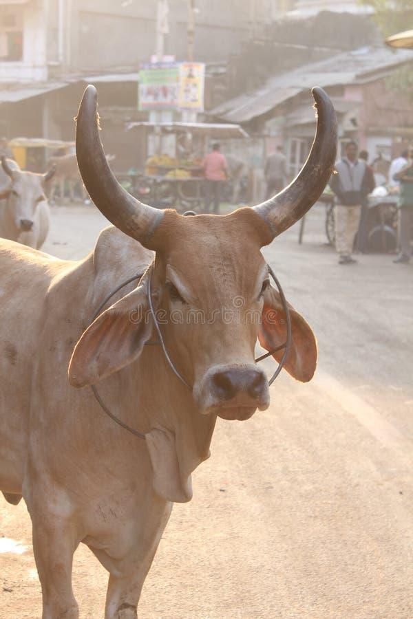 Vaca de la fotografía de la calle foto de archivo