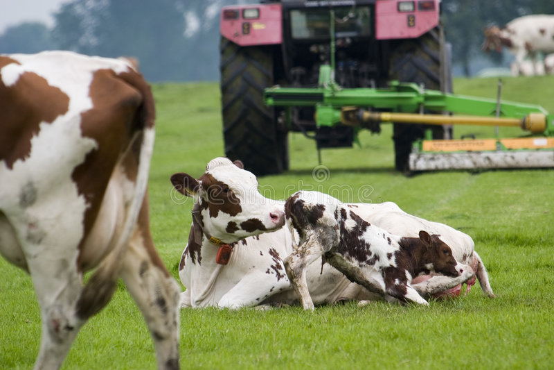 Vaca de la madre y una poco buey foto de archivo
