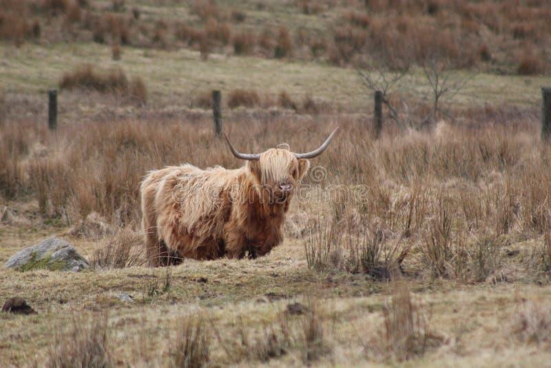 Vaca de la montaña fotos de archivo libres de regalías