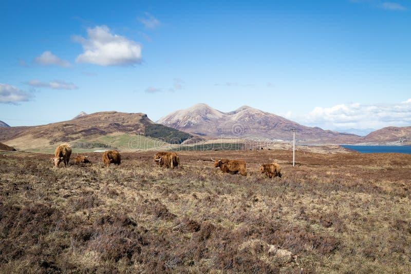 Vaca de la montaña imagen de archivo