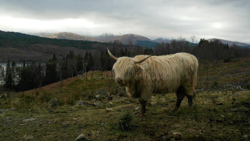 Vaca de la montaña fotos de archivo