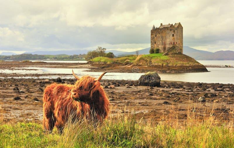 Vaca de la montaña, en el acosador del castillo imagenes de archivo