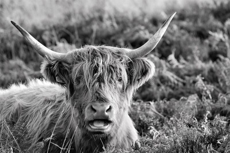 Vaca de la montaña que acaba de darse un ciertas malas noticias fotografía de archivo