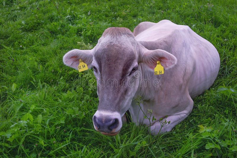 Vaca de la raza de la lechería que miente en un prado imágenes de archivo libres de regalías