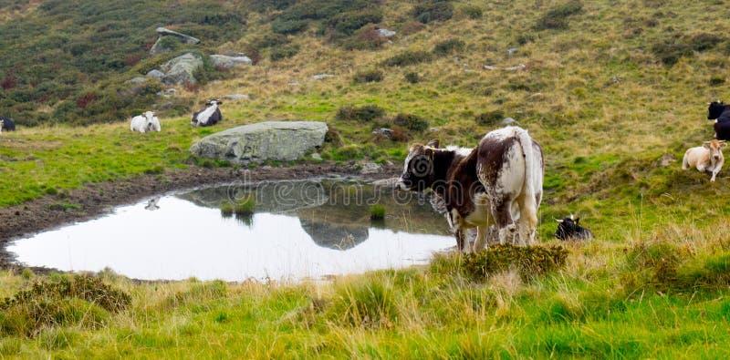 Vaca de leche que pasta en verde alpino de las montañas fotografía de archivo libre de regalías