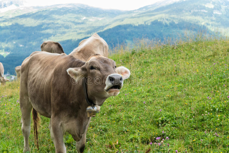 Vaca de leite na terra de pastagem em Baviera fotos de stock