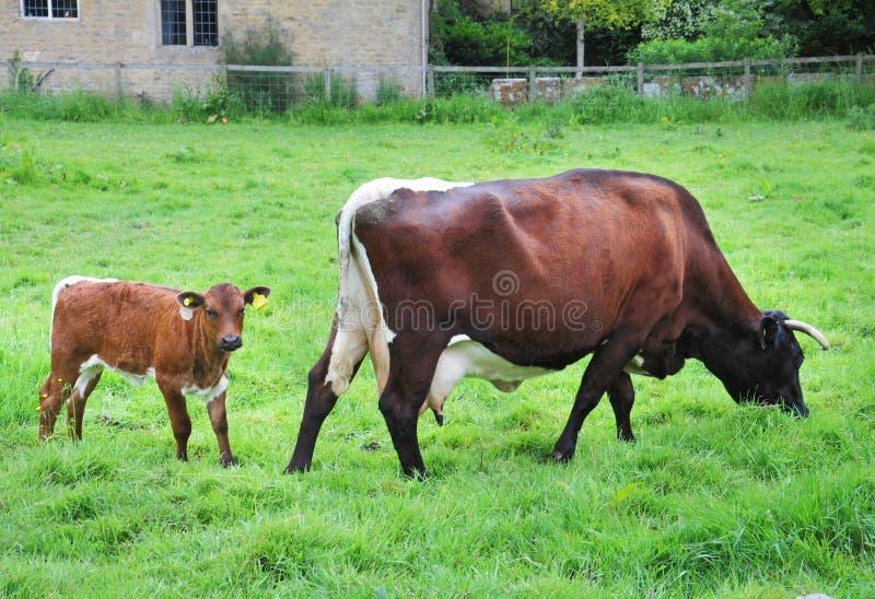 Vaca de leiteria com vitela fotografia de stock royalty free