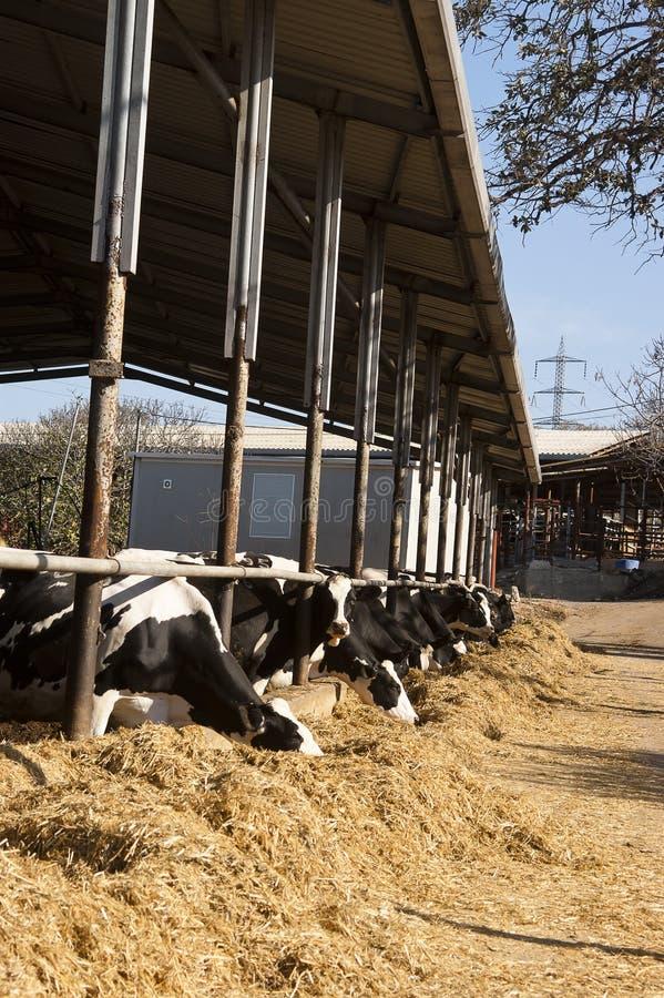 A vaca de leiteria come a palha imagem de stock