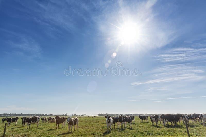 Vaca de leiteria do frisão da raça de Holstein, pastando no campo verde imagem de stock royalty free