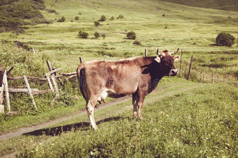 Vaca de leiteria Gramado verde do verão Animal de exploração agrícola Paisagem rural Cultivando o conceito Prado Georgian geórgia imagens de stock