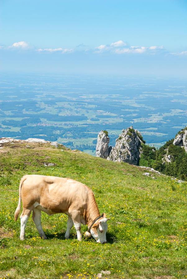 A vaca de leiteria pasta em um prado alpino alto III imagem de stock