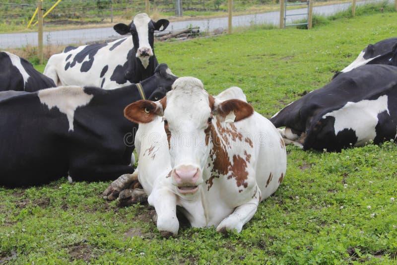 Vaca de leiteria Perplexed imagens de stock