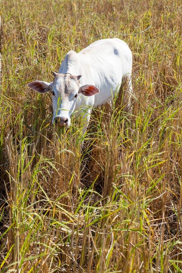 Vaca de Tailandia fotos de archivo libres de regalías