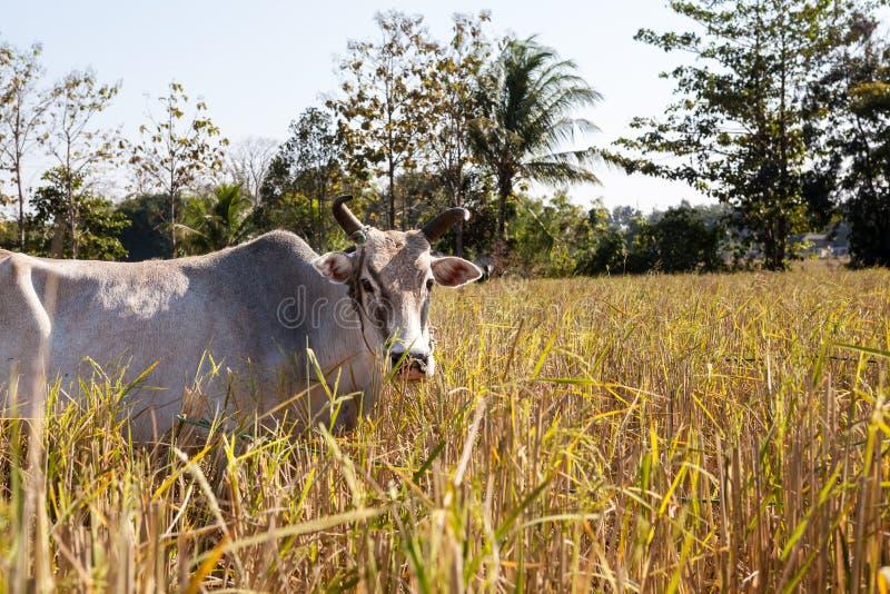 Vaca de Tailandia imagen de archivo libre de regalías
