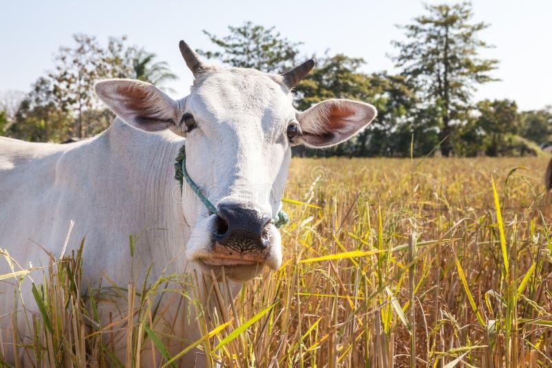 Vaca de Tailandia fotografía de archivo libre de regalías