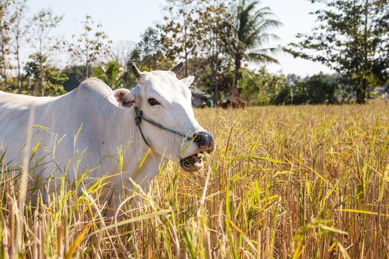 Vaca de Tailandia foto de archivo
