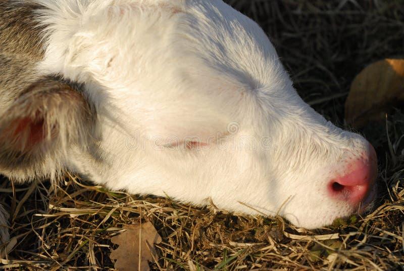 Vaca del bebé foto de archivo libre de regalías
