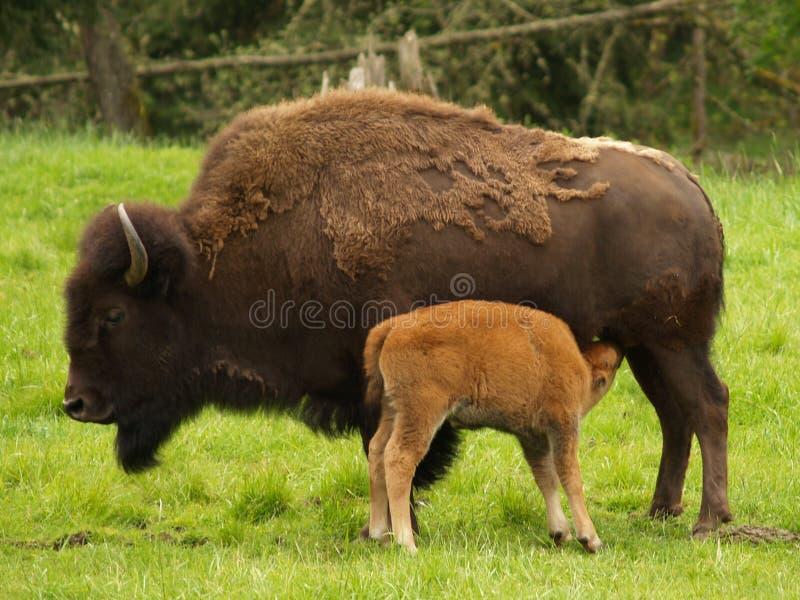 Vaca del bisonte con el becerro fotos de archivo