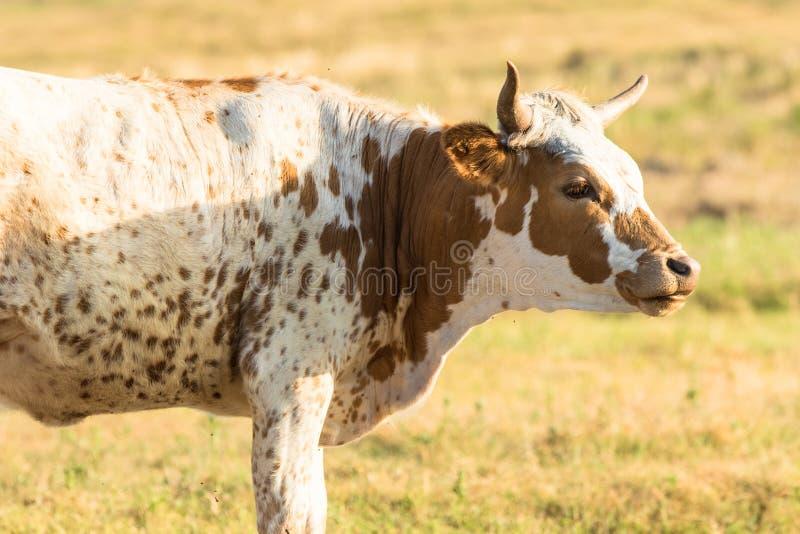 Vaca del fonolocalizador de bocinas grandes que se coloca en pradera foto de archivo