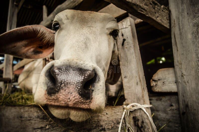 Vaca del granjero en el noreste de Tailandia fotografía de archivo