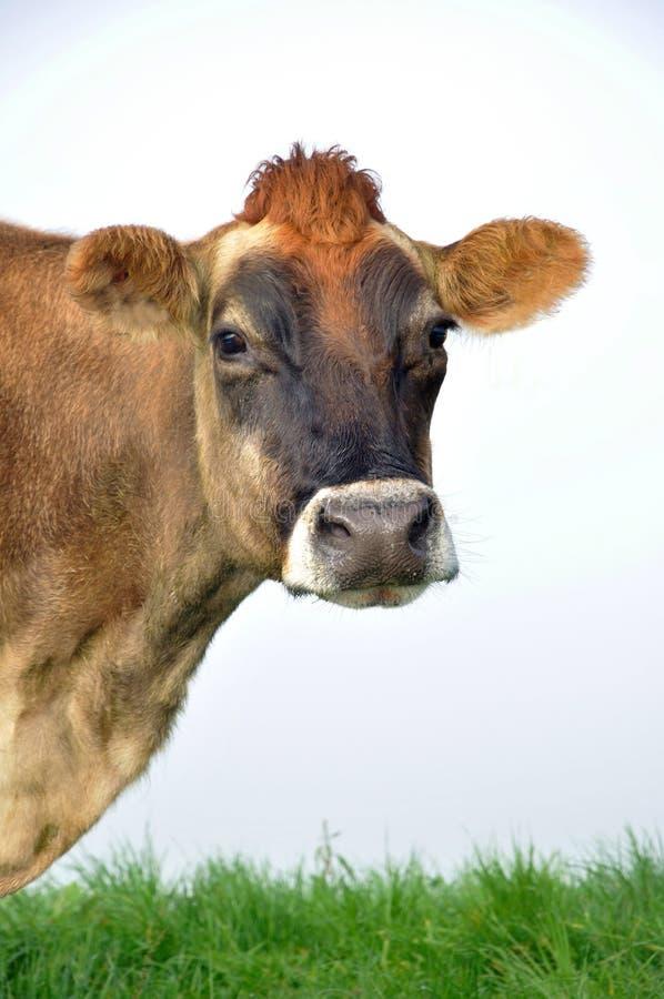 Vaca del jersey foto de archivo