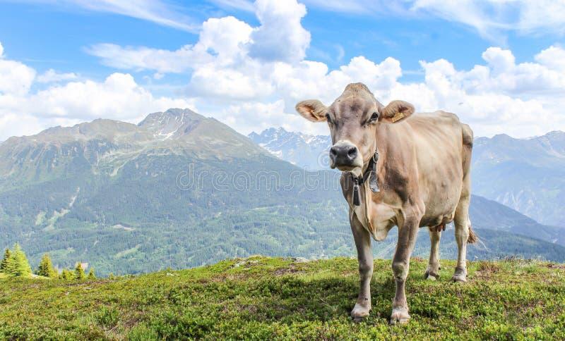 Vaca delante de un panorama hermoso de la montaña en el paisaje hermoso del Tyrol fotos de archivo