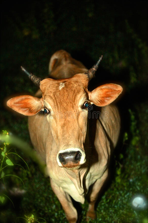 Vaca dispersa ou uma surpresa da noite fotos de stock